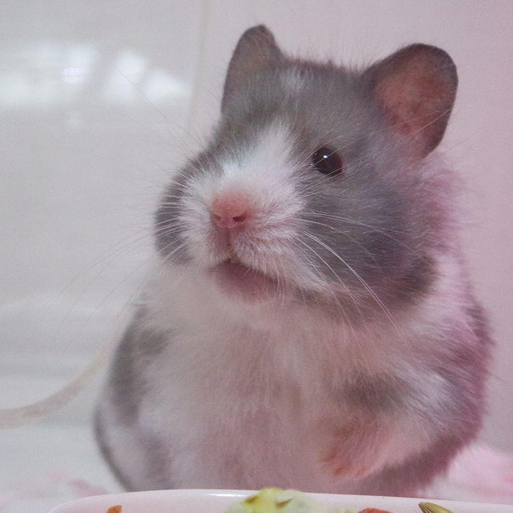 All About Syrian Teddy Bear Hamster House Care Toy Feeding