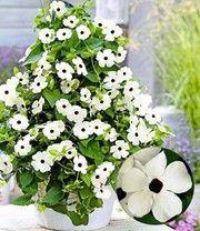 Witte Thunbergia 'White Halo' #kletterpflanzenwinterhart Witte Thunbergia 'White Halo' #kletterpflanzenwinterhart Witte Thunbergia 'White Halo' #kletterpflanzenwinterhart Witte Thunbergia 'White Halo' #kletterpflanzenwinterhart