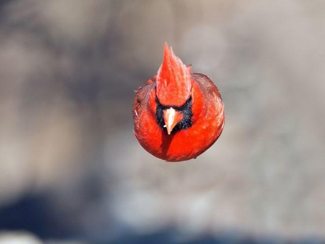Red bird in flight (Cardinal-male)