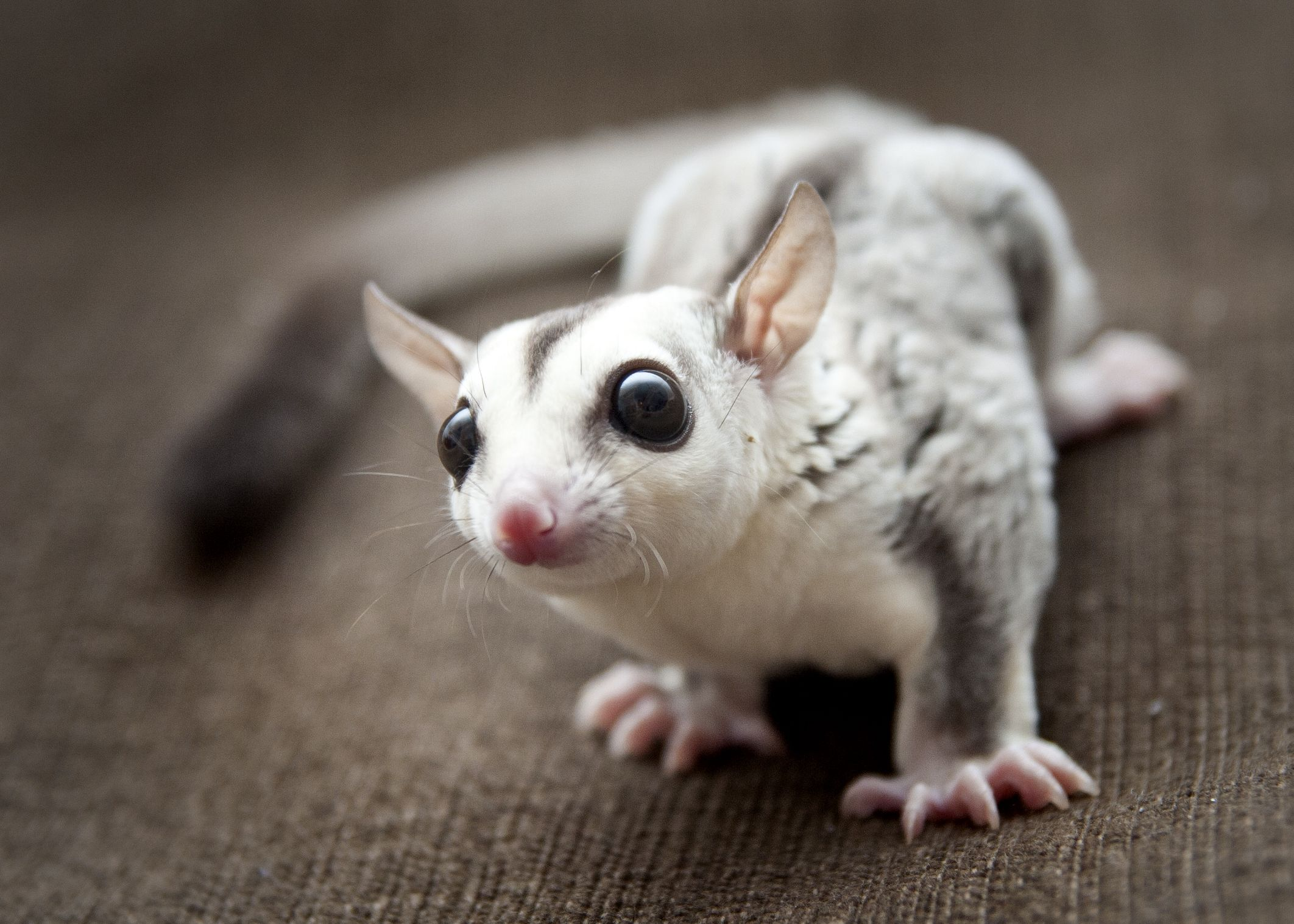 Socrates the Sugar Glider 4 month old whiteface blonde