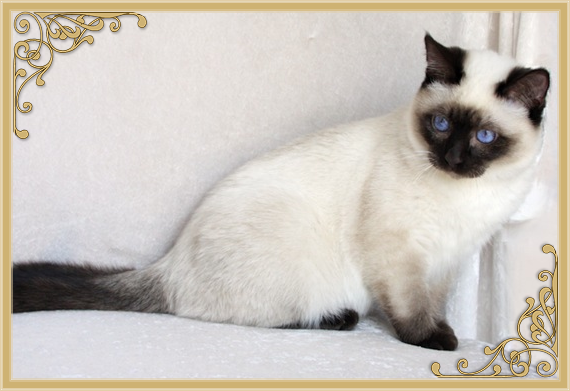 Siamese Cat Breeder & Traditional Siamese Cats by Siamese