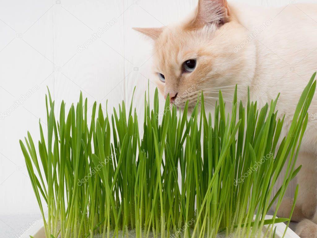Cat Is Eating Fresh Green Grass Cat Grass Pet Grass Natural Hairball Treatmen Affiliate Fresh Green Cat Eating Ad