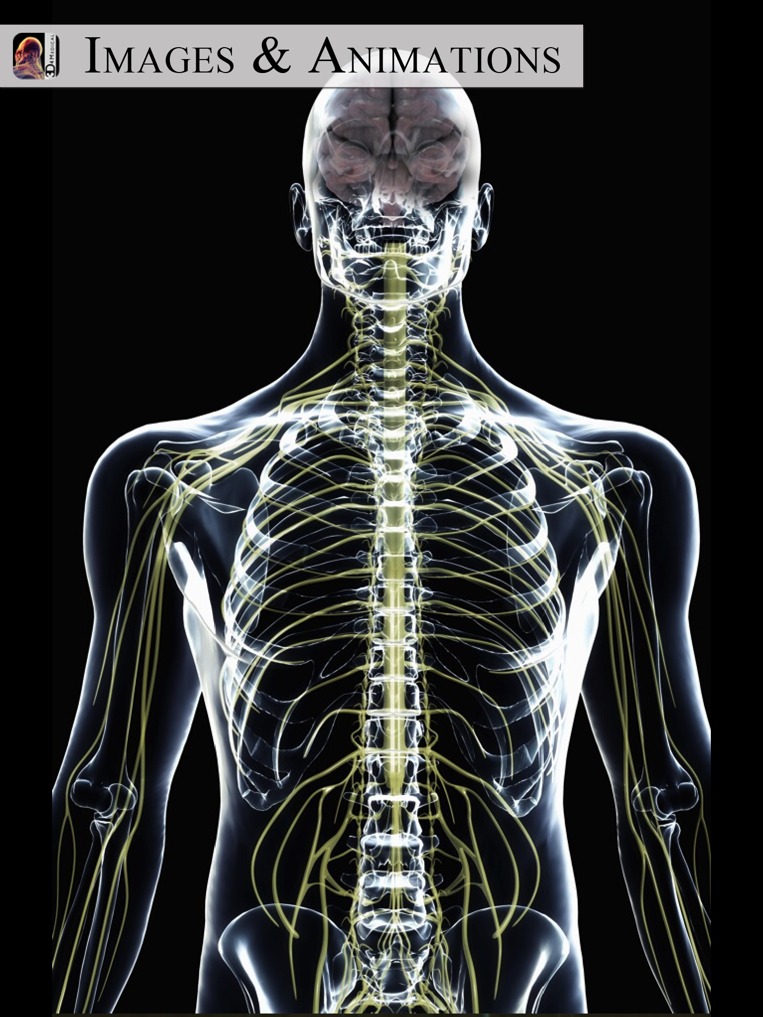 Transparent View Of The Male Torso Showing The Brain And The Central Nervous System Male Torso Body Systems Digital Artists