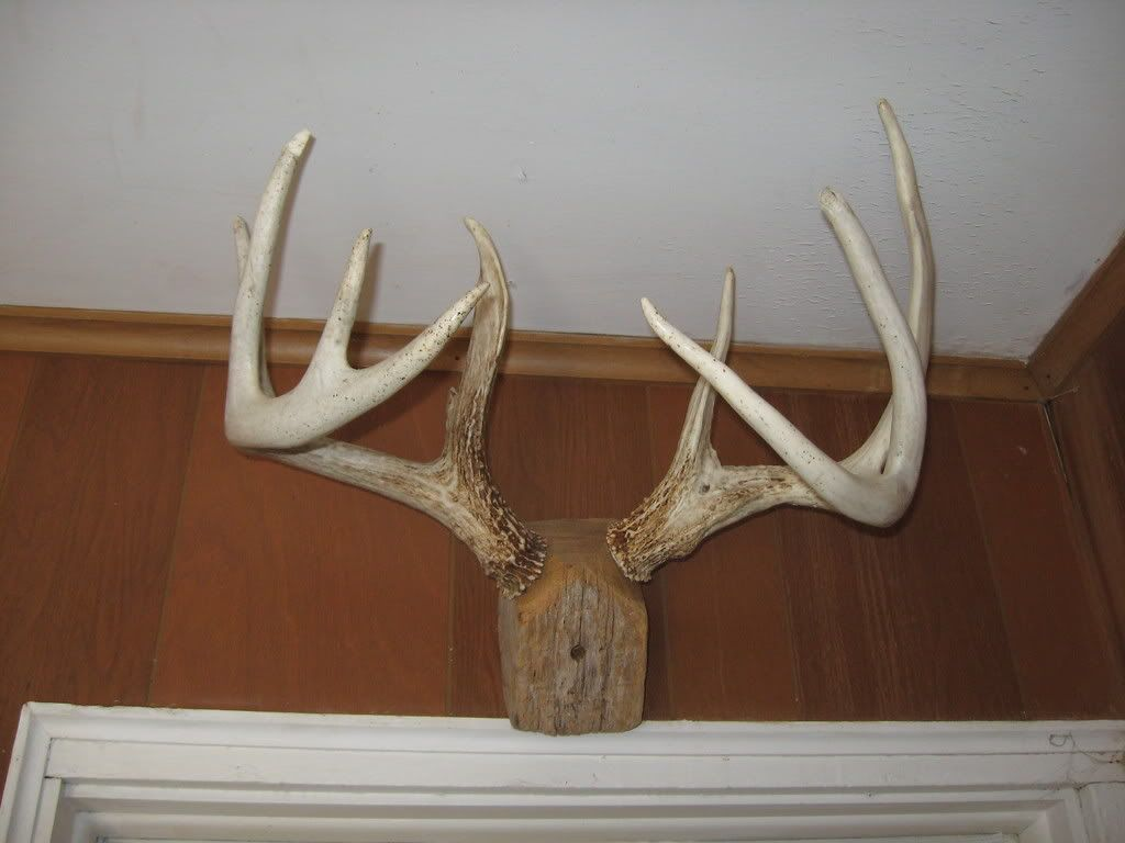 How to mount shed antlers google search diy crafts for Deer antler craft ideas