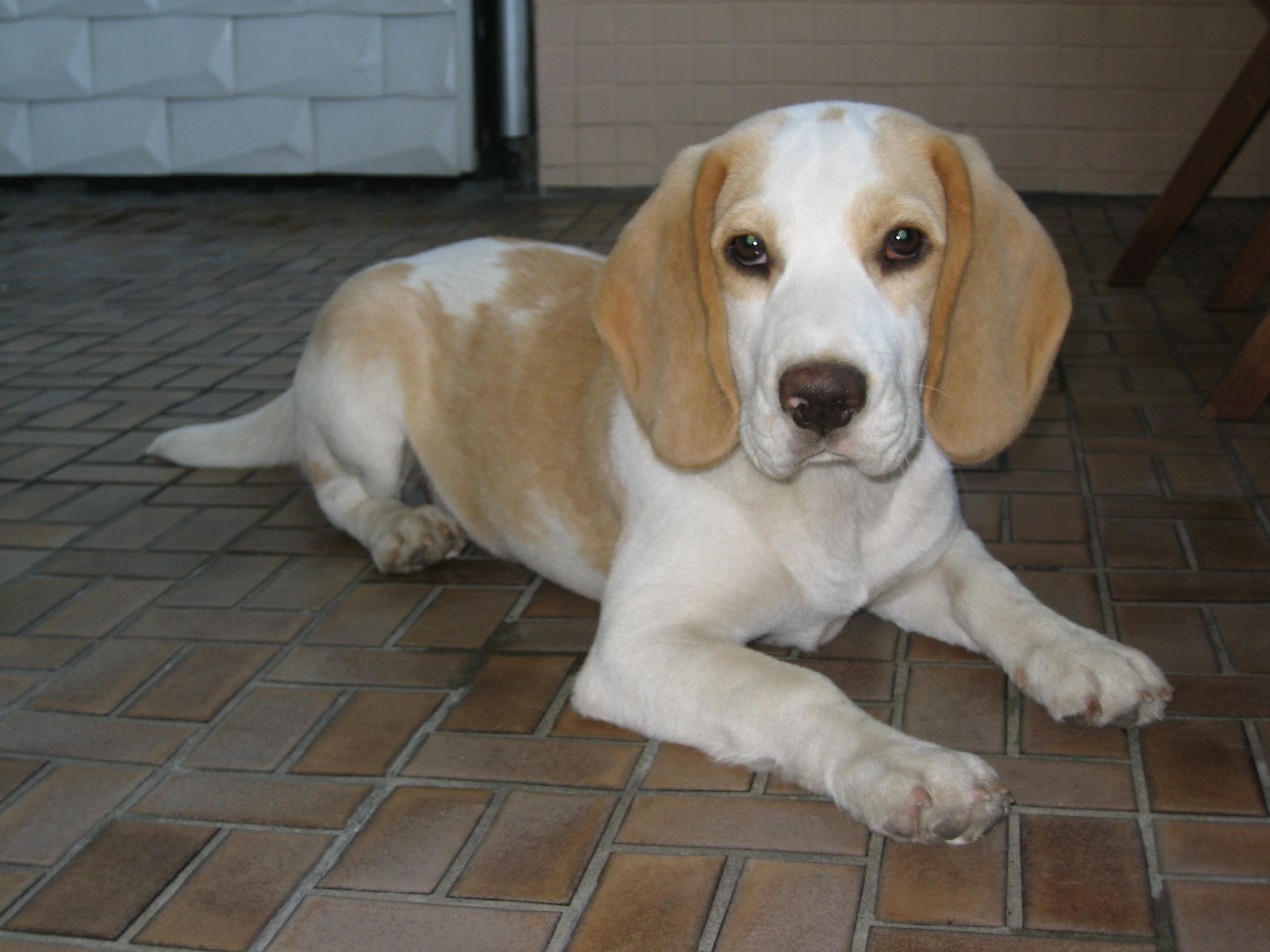 Lemon White Beagle Pup Beagle Animaux Chien