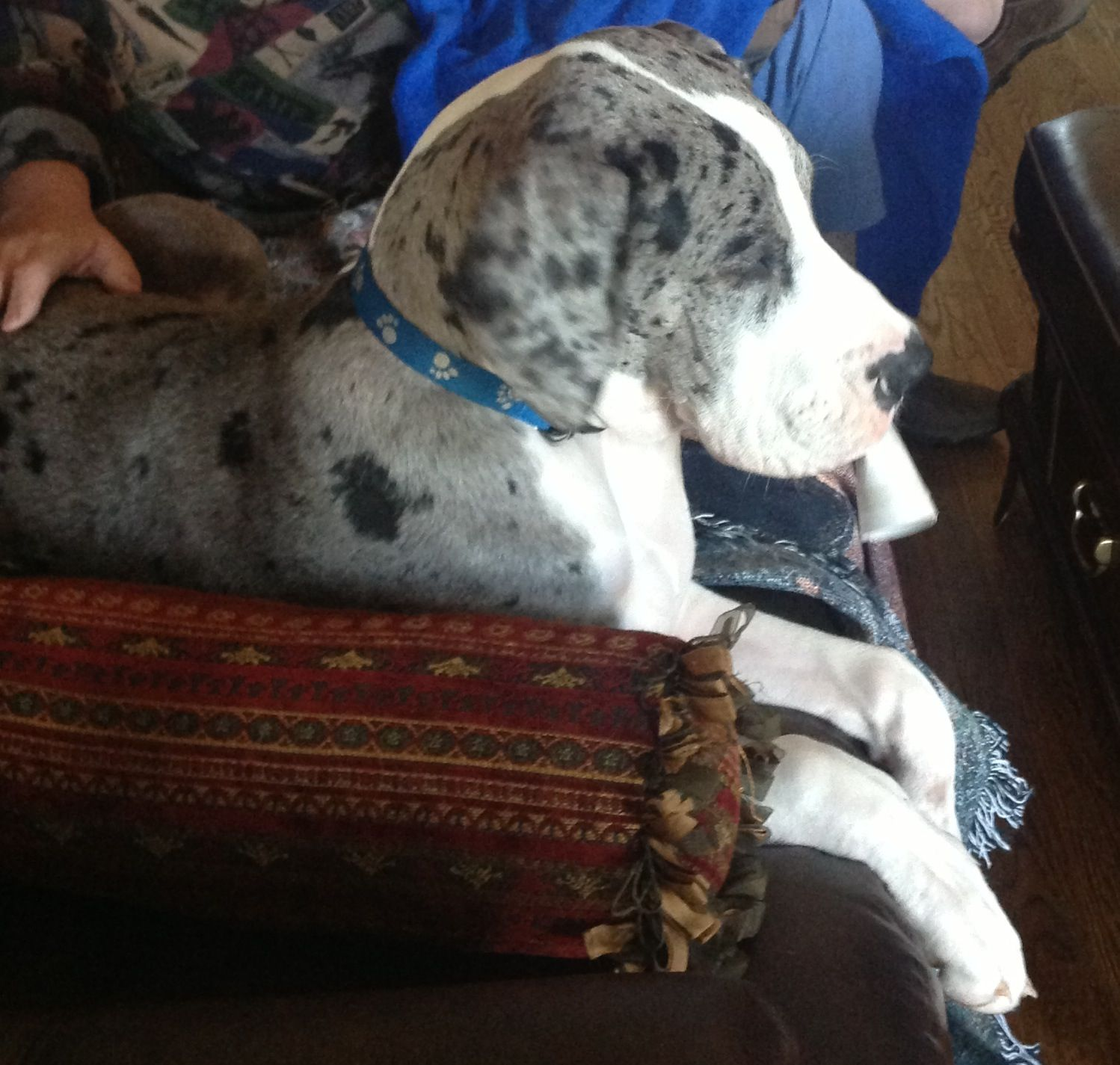 Aden hanging out with Dad|Great Dane puppy