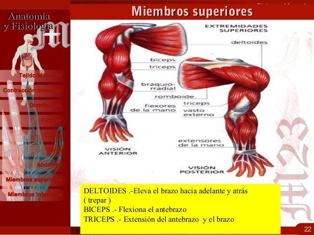 Sistema Muscular 22 Contracción muscular Distribución Cabeza ...