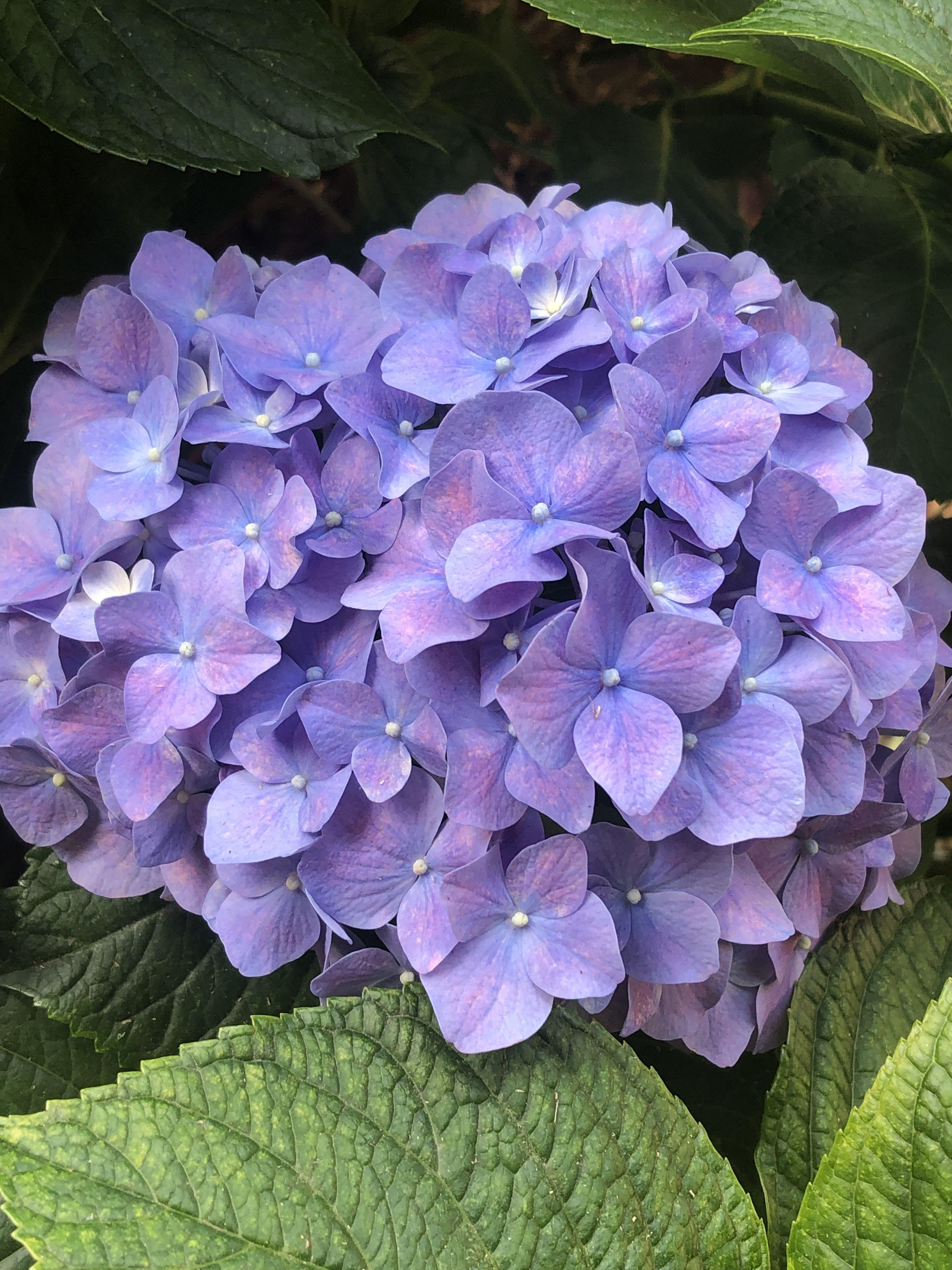 Hydrangea In 2020 Hydrangea Garden Beautiful Flowers Hydrangea Landscaping