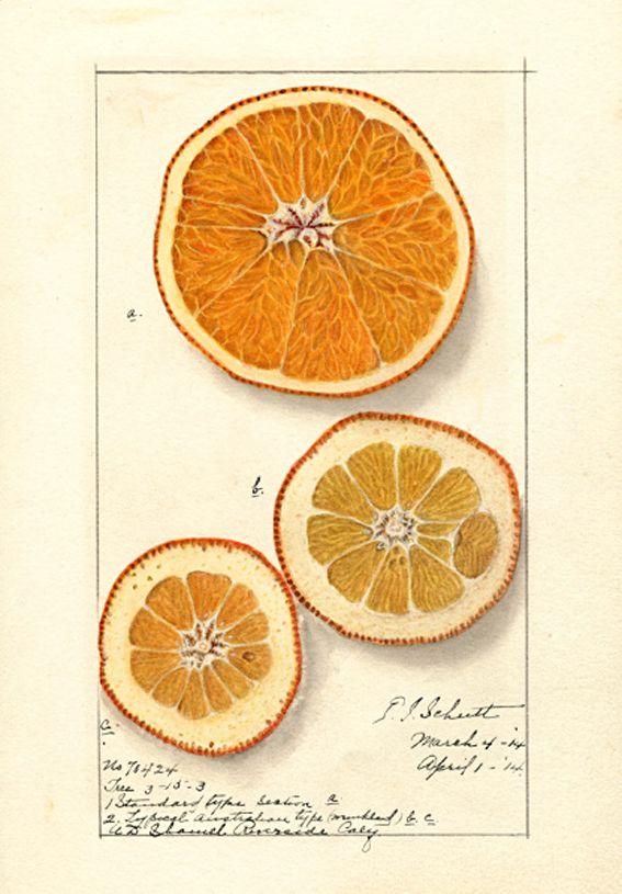 Ellen Isham Schutt Citrus sinensis Washington Navel 1914.