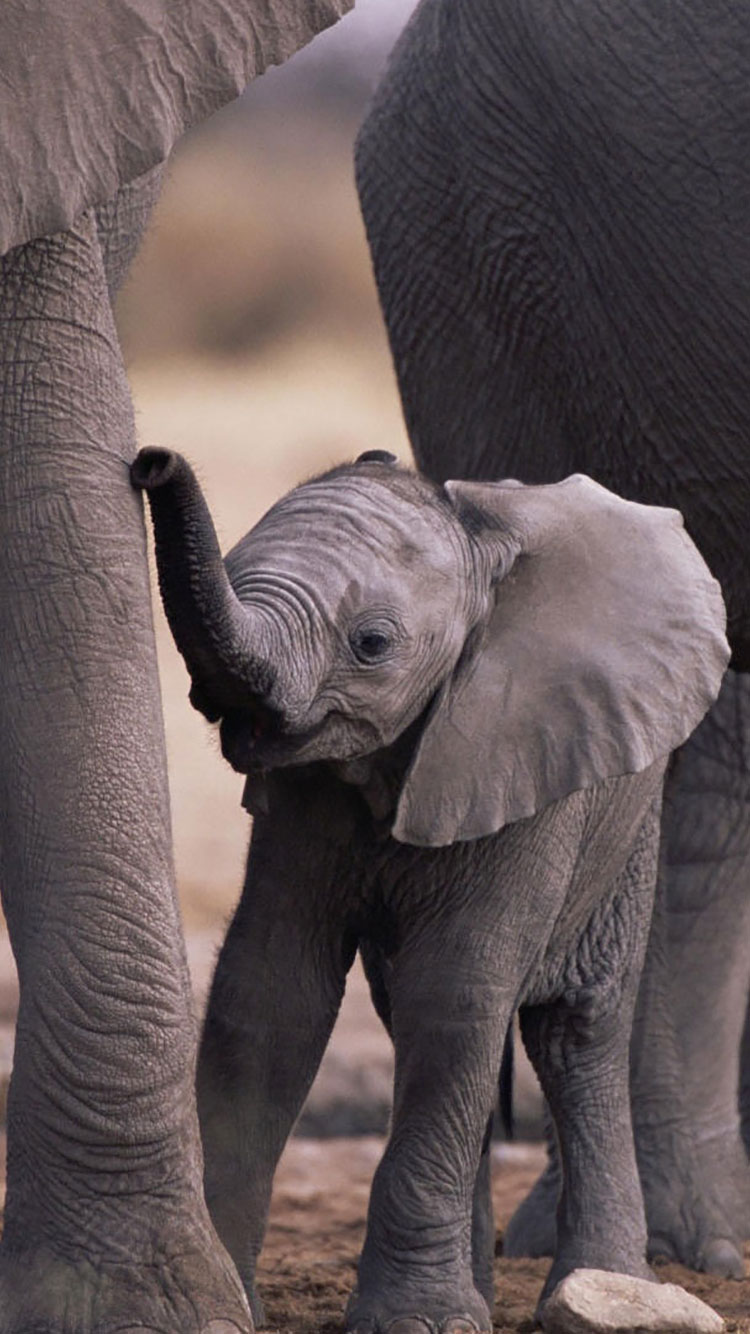 Animals iPhone Backgrounds in 2020 | Cute baby elephant ...