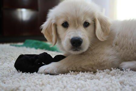 Bailey The Golden Retriever Golden Retriever Retriever Puppies