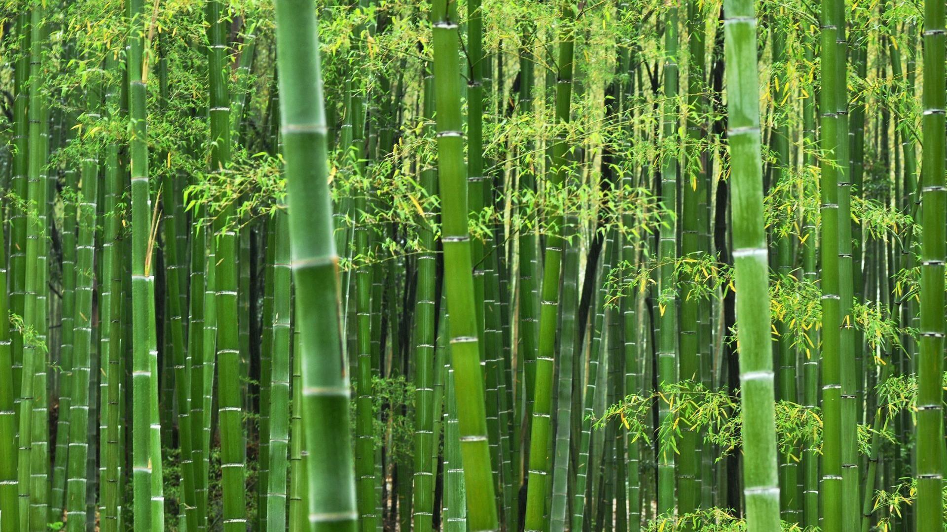 Free Hd Bamboo Wallpapers Plantas De Bambu Tenido De Telas