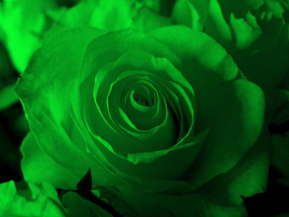 The Meaning and Top 19 Beautiful Green Roses | Flowers | Pinterest ...
