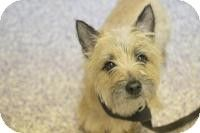 Hilton Ny Cairn Terrier Mix Meet Jesse2 A Dog For Adoption