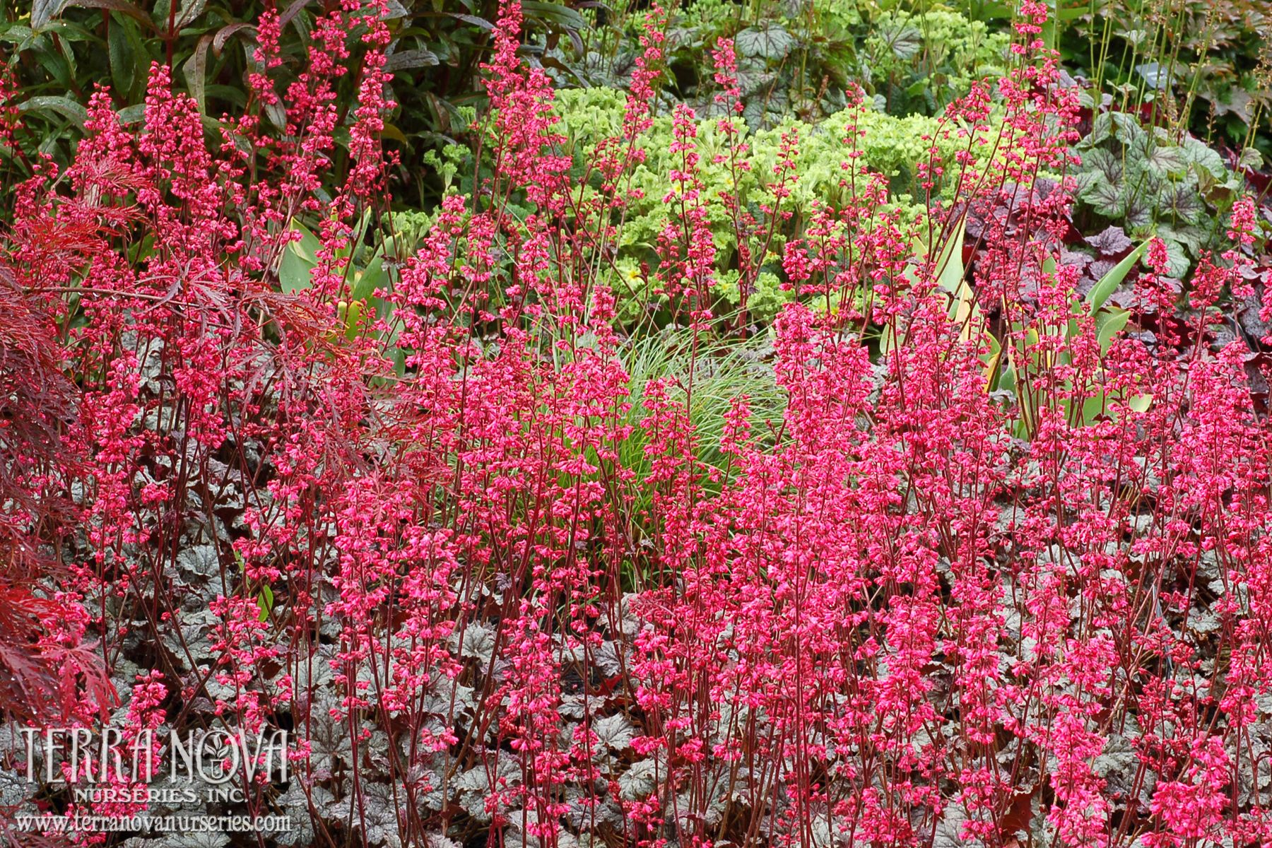 Heuchera Rave On One Of Our Heaviest Spring Bloomers Produces Masses Of Pink Flowers Above Highly Silvered Foliage Excellent In Containers En Mas Heuchera