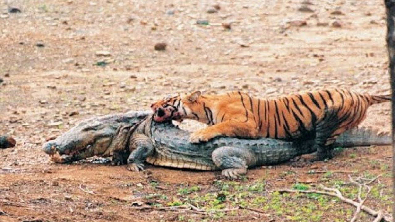 Tiger vs Crocodile Animal Face Off | Tiger vs Crocodile ...