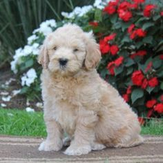 Mini Goldendoodle Puppies For Sale Goldendoodle Puppy For Sale