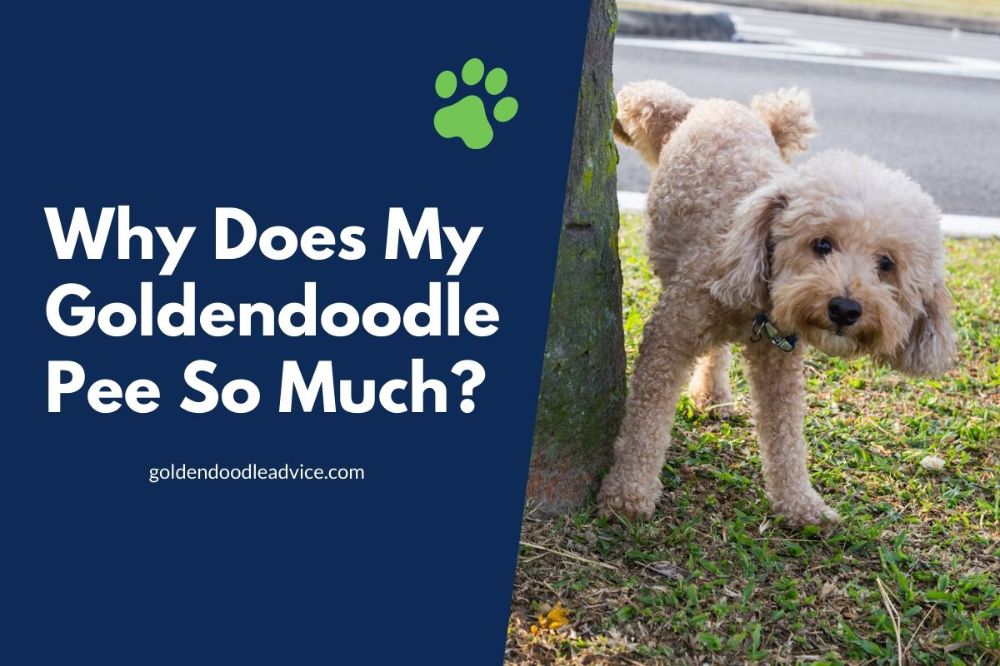 Why Does My Goldendoodle Pee So Much? (With images