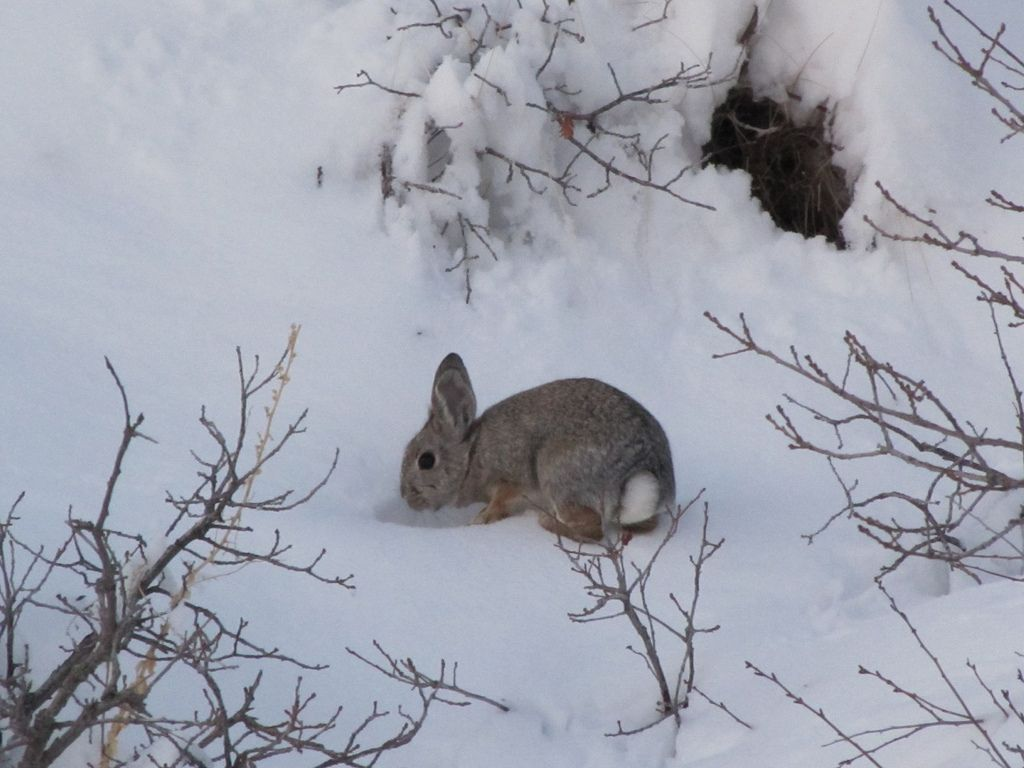 winter bunny outside it 39 s burrow four seasons. Black Bedroom Furniture Sets. Home Design Ideas