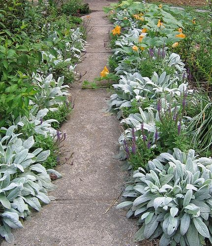 South Central Gardening Landscaping Ideas You Can Use: How To Grow & Use Wooly Lamb's Ear
