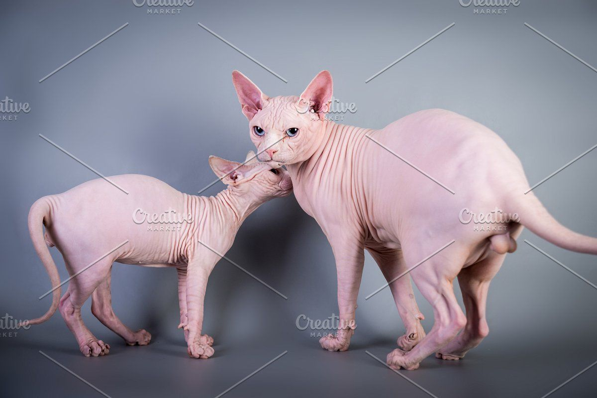Sphynx Canadian Hairless Kitten On G In 2020 Hairless Kitten Sphynx Cat Kitten