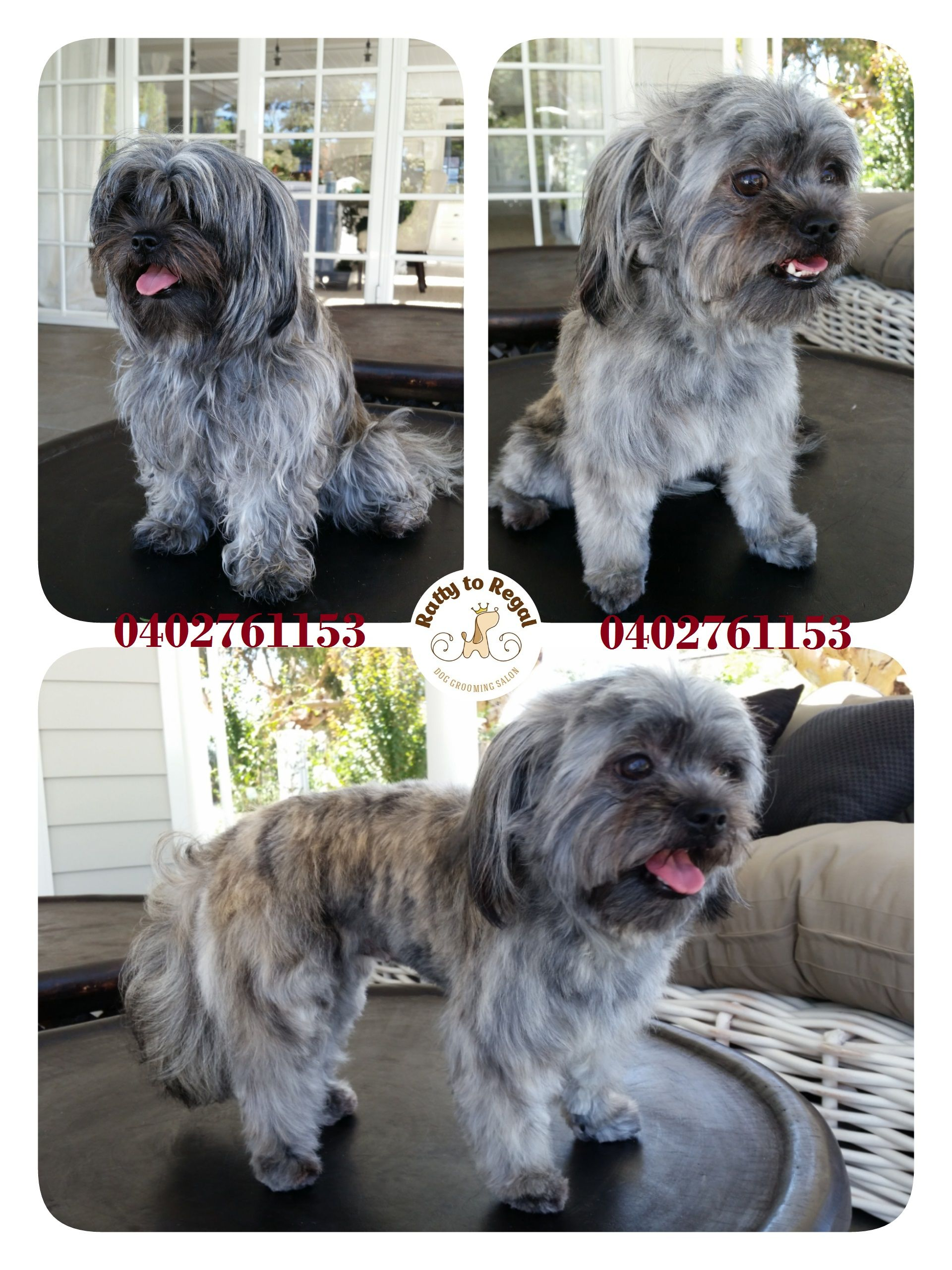 Boo Boo, Shih Tzu x Maltese, 1 year young. Full Groom Website: https://rattytoregal.wixsite.com/rattytoregal Facebook: https://www.facebook.com/rattytoregal/