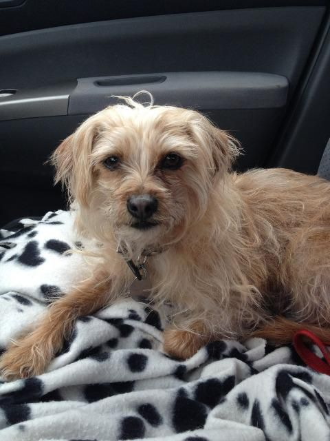 Adopt Frito On Yorkie Dogs Dogs Yorkshire Terrier
