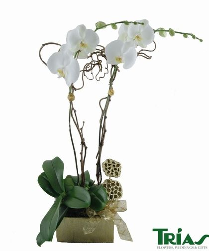 Double Orchid Gold Bow Gold Orchid Flower Delivery Orchids