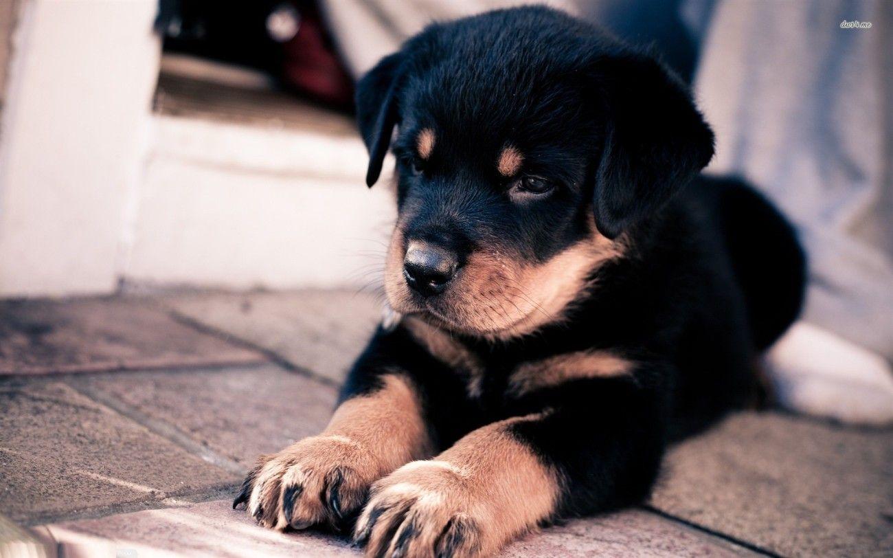 Rottweiler Puppy Wallpaper Rottweiler Puppies Rottweiler Dog