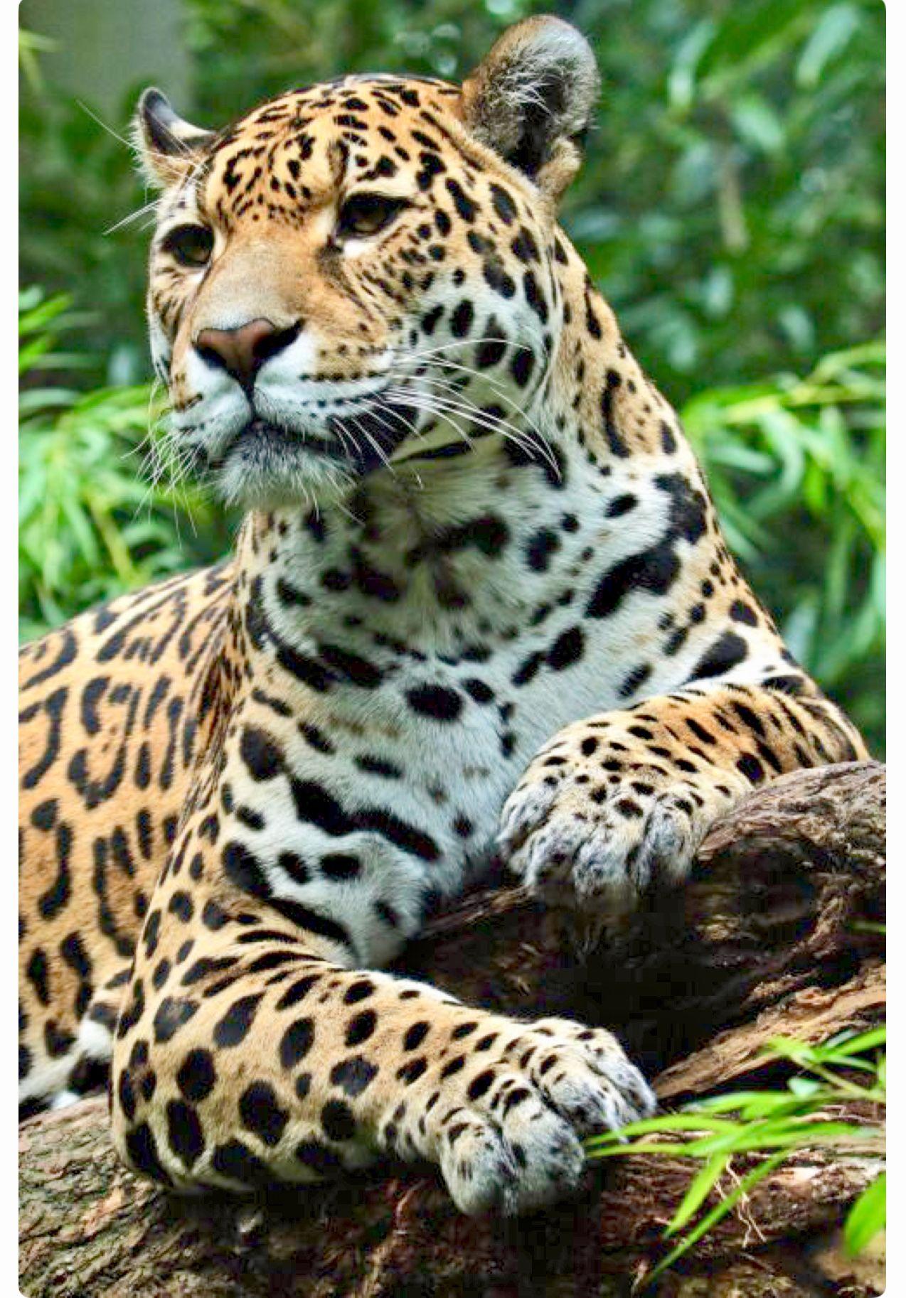 Powerful Jaguar Resting On A Log Wilde Tiere Wilde Katzen