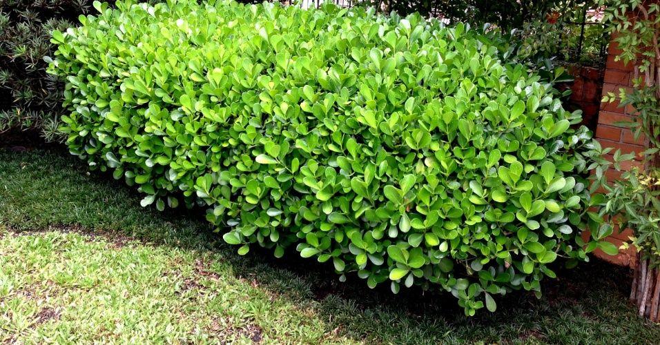Arbusto é resistente ao calor e pode formar cerca viva; veja como