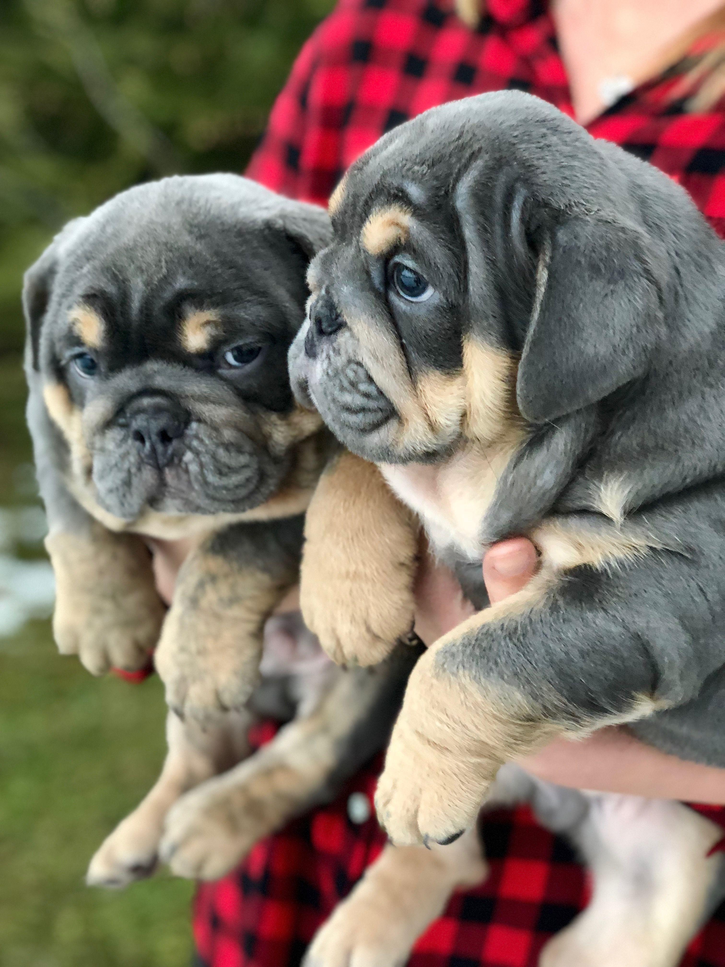 Bulldog Calm Courageous And Friendly Bulldog Puppies Puppies