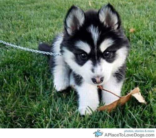 This Is My Leaf But You Can Have It Baby Huskieshuskies Puppiessiberian