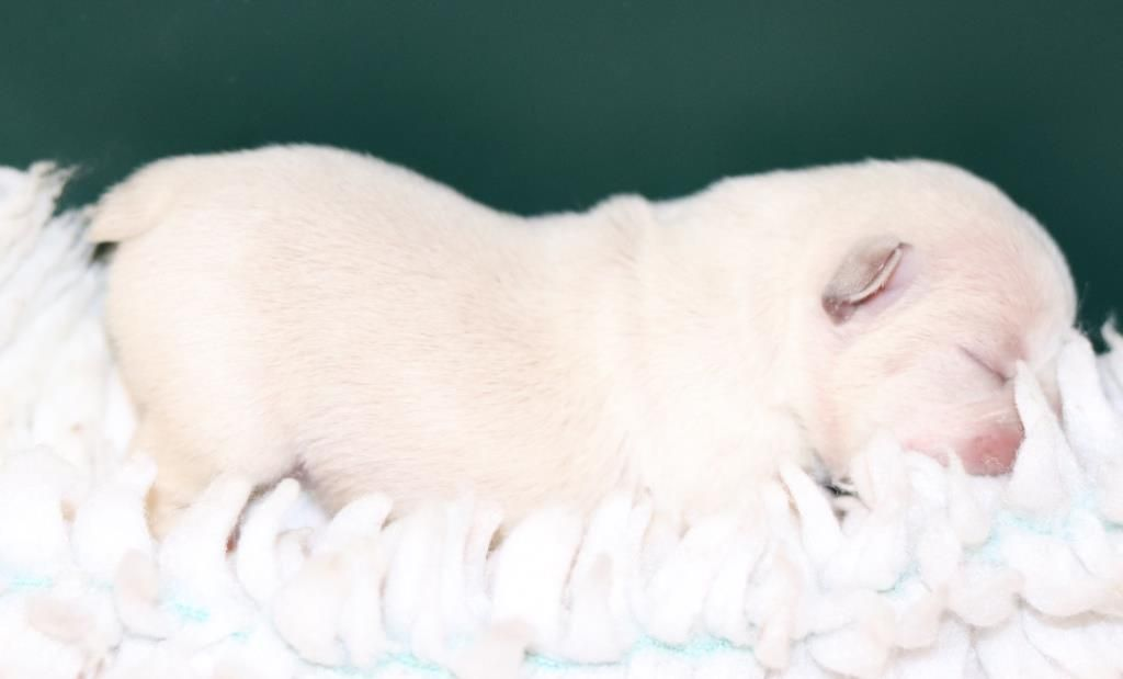 Amazing Lilac Platinum French Bulldog Puppies From Quad Carrier
