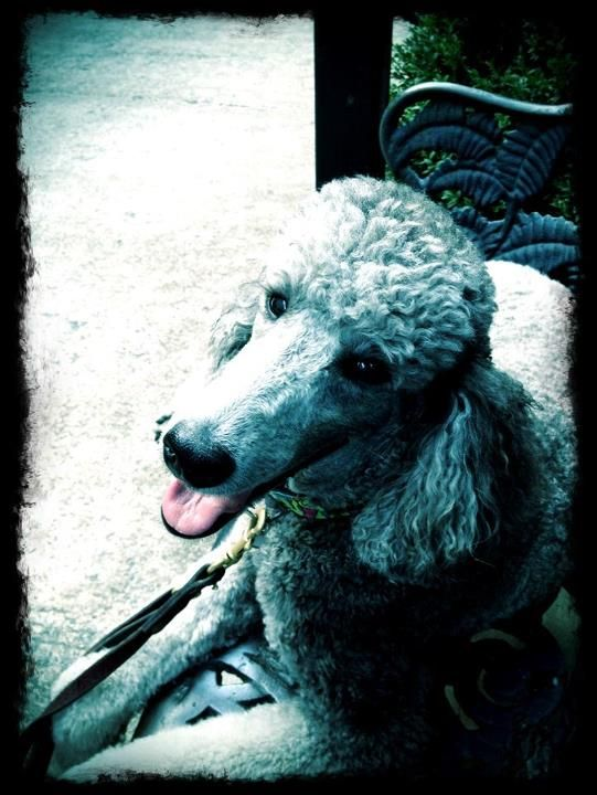 Pictures of Standard Poodle Dog Breed