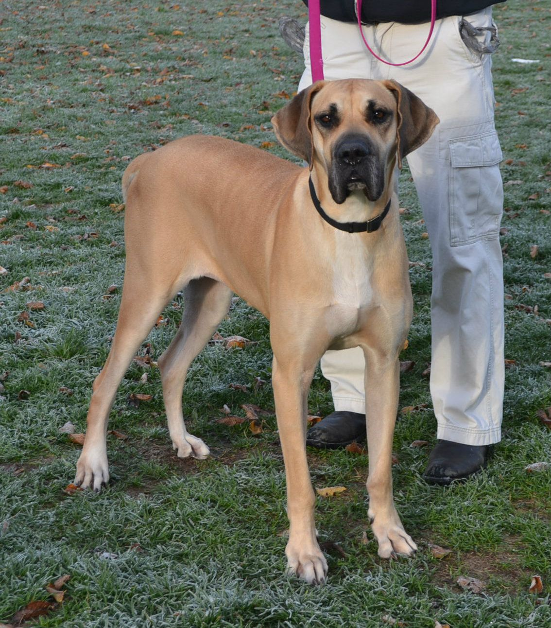 Great Dane dog for Adoption in Akron, OH. ADN718731 on