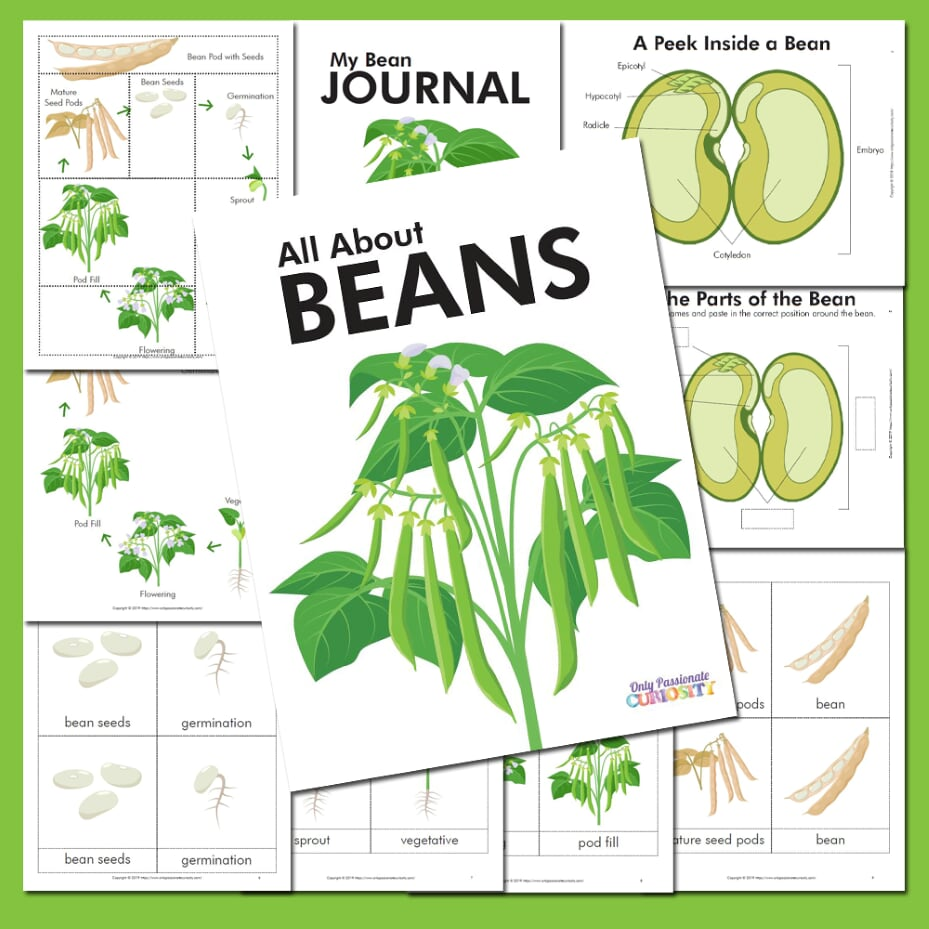 All About Beans Life Cycle Unit Study Only Passionate Curiosity Life Cycles Study Unit Apple Tree Life Cycle [ 929 x 929 Pixel ]