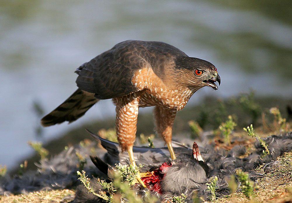 cooper's hawk (accipiter cooperii), is a mediumsized hawk