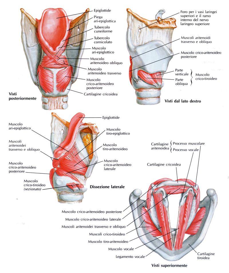 Risultati immagini per laringe   Anatomy   Pinterest   Anatomy