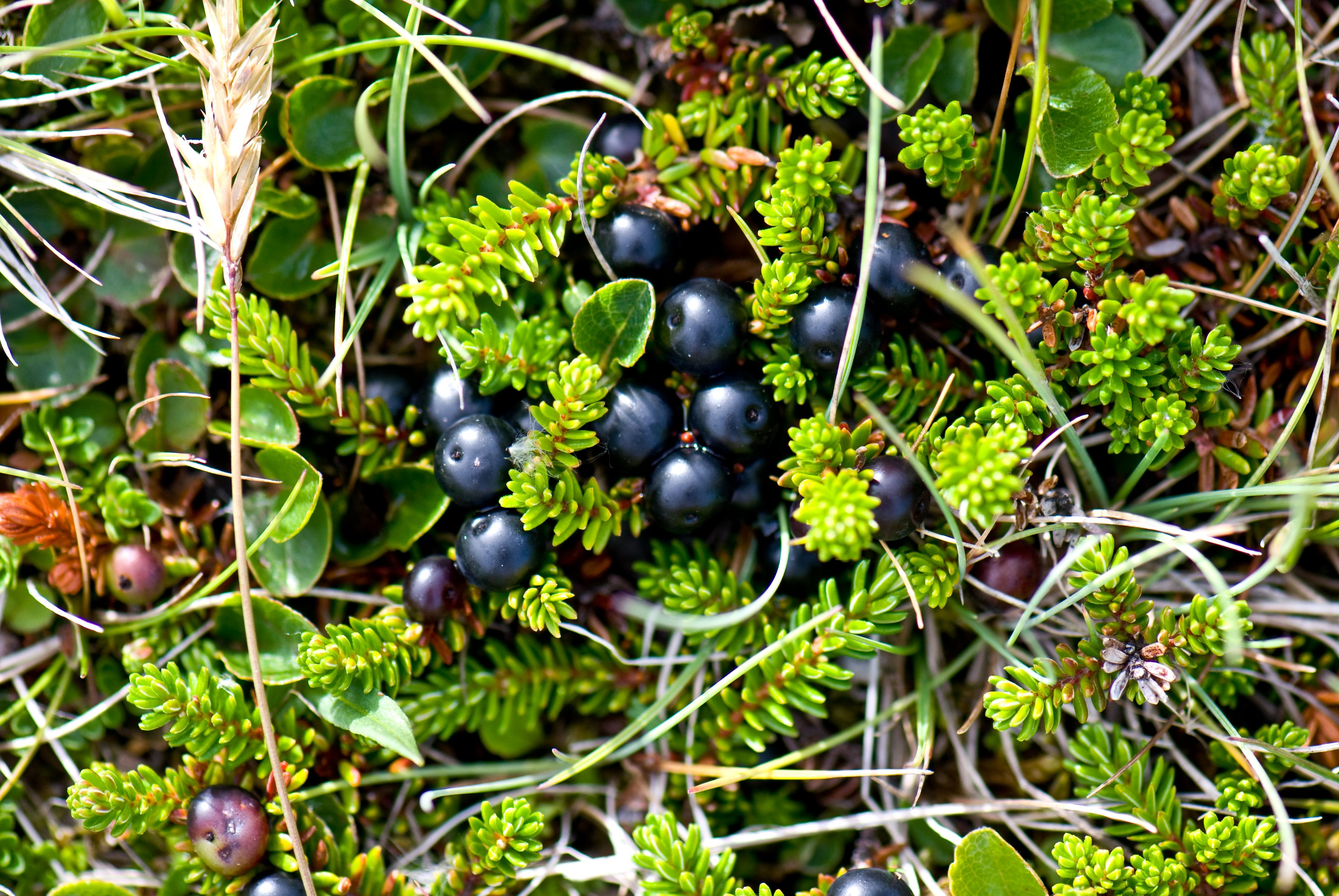 Crowberry, another badge of Clan MacFie
