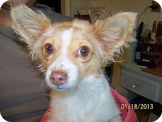 Chihuahua Mix Seattle Wa Dixie Urgent Dixie Is Looking For