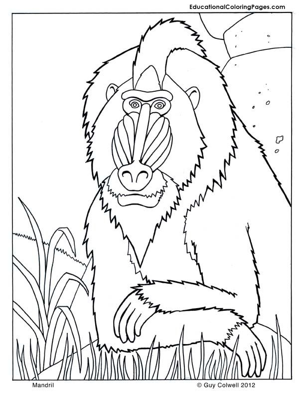 Mandril, Zoo Animals Coloring