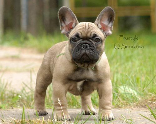 French Bulldogs Frustyle Moscow Russia French Bulldogs Puppies French Bulldog Puppies French Bulldog Puppies