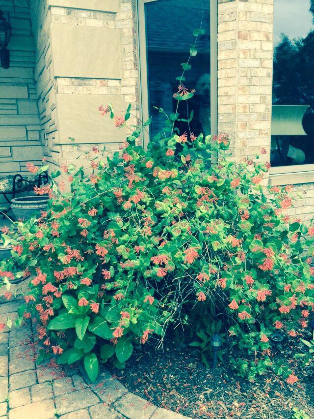 Honeysuckle vine blooming