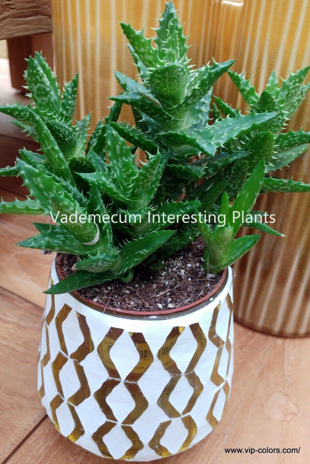 Aloes Squarrosa Aloe Squarrosa