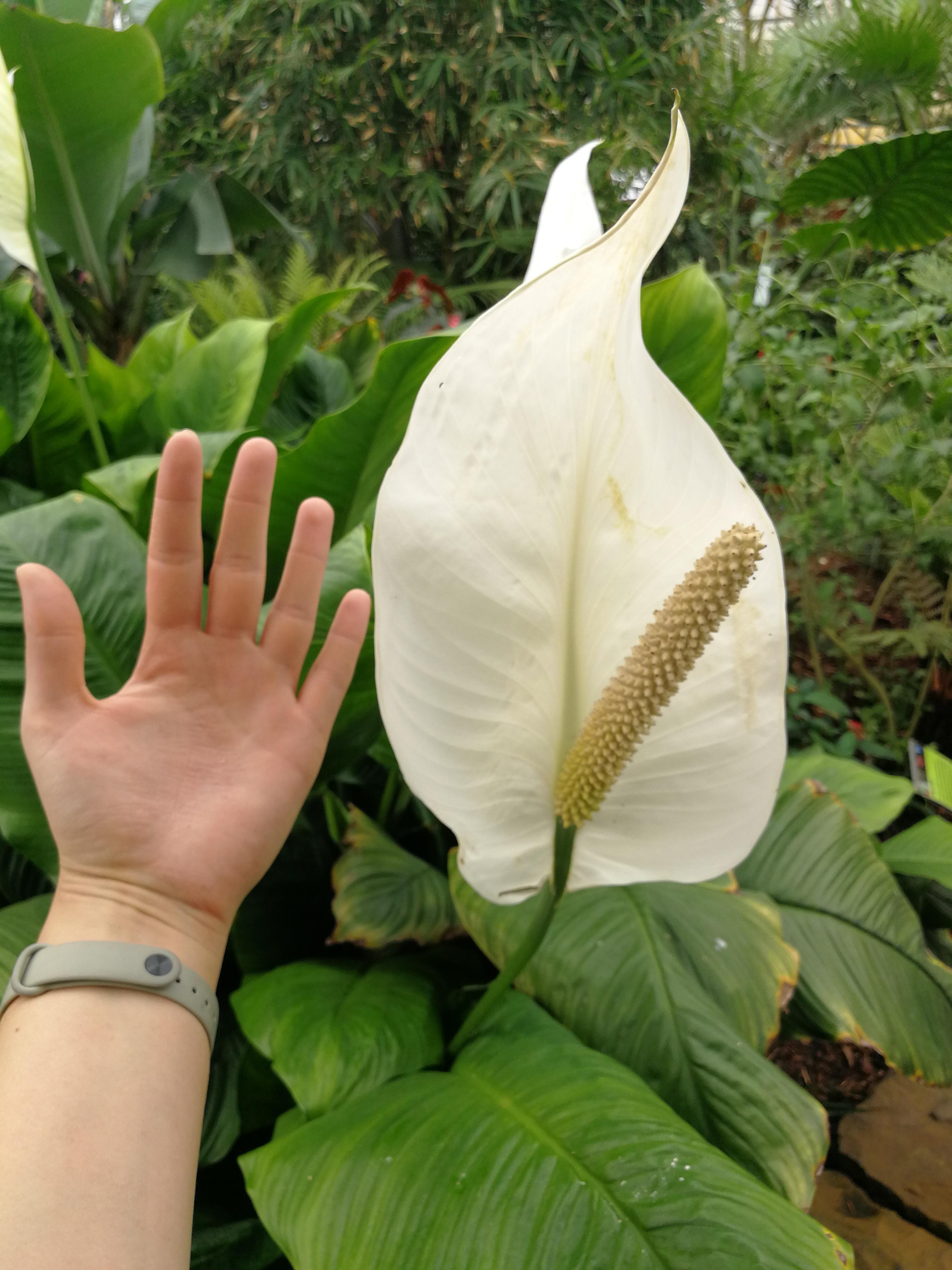 Biggest peace lily I've ever seen! gardening garden DIY