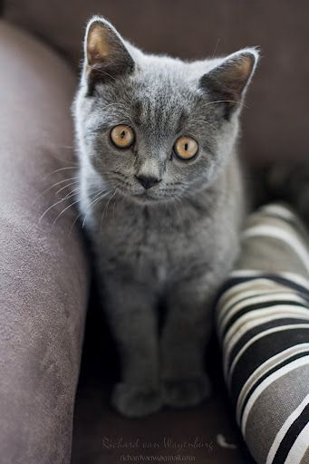 I've always wanted a solid gray cat... Super Cute