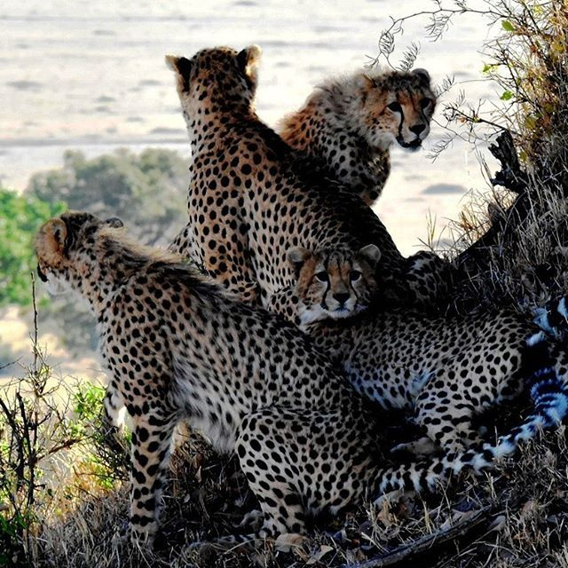 What is a group of cheetahs called
