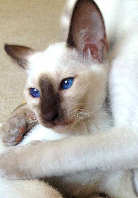 Testimonials Diamondcats Cattery Siamesecats Cats Balinese Cat Siamese Cats