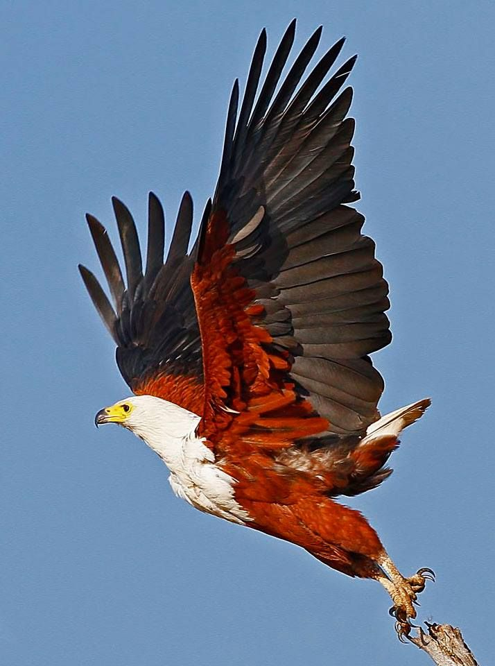 African Fish Eagle Haliaeetus Vocifer Visarend Via Chris Krog Birds Eagle Images African Animals